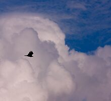 Turkey Vulture in Havana by Josef Pittner