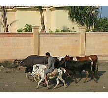 Herding Livestock Photographic Print