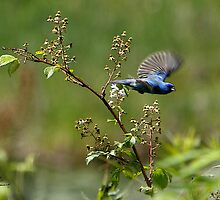 The Flight of the Indigo Bunting by DigitallyStill