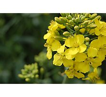 Rapeseed in springtime Photographic Print