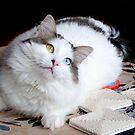 My Turkish Van Cat by digitalmidge