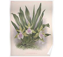 Iconagraphy of Orchids Iconographie des Orchidées Jean Jules Linden V8 V9 1895 0146 Poster