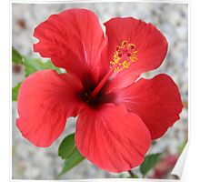 A Stunning Scarlet Hibiscus Tropical Flower Poster