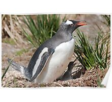 Gentoo Penguin and chick Poster