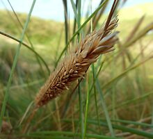 Marram Grass - Freshwater West, Pembrokeshire by shutterclick
