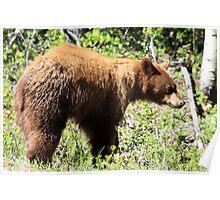 American Black Bear Poster