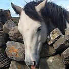 Connemara Pony looking over a stone wall by ConnemaraPony