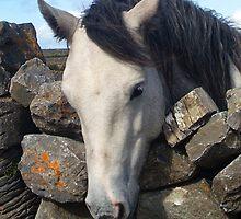 Connemara Pony looking over a stone wall by ConnemaraPony