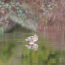 Lone Reflected Duck... by Carol Clifford