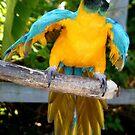 Playful Macaw by Sheryl Unwin