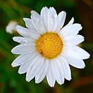 Daisy Drops by Penny Smith