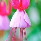 Pretty Pink Fuschia by Penny Smith