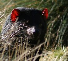 Tasmanian Devil (Pano) by inthewild