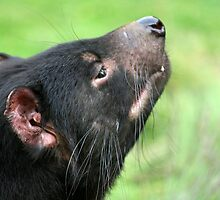 Tasmanian Devil (Sniffing) by inthewild