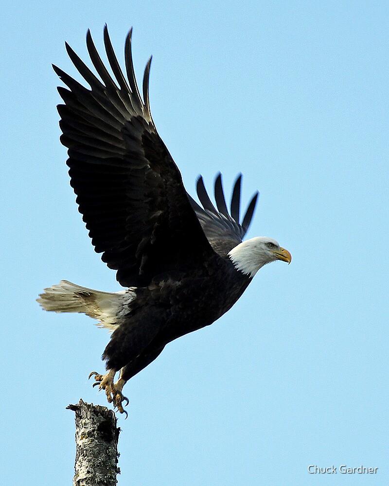 Bald Eagle at Delta Ponds by Chuck Gardner