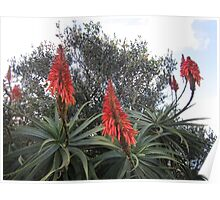 Three aloes Poster