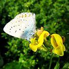 Common Blue Butterfly male by Detlef Becher
