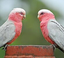 Pair Of Galahs. Brisbane, Queensland, Australia. by Ralph de Zilva
