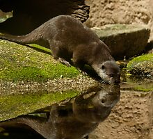 """Otter Reflections"" by Sophie Lapsley"