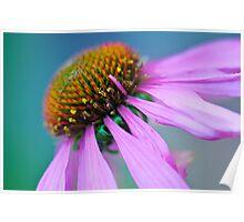 Echinacea up close Poster