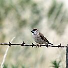 Plum-headed Finch by EnviroKey