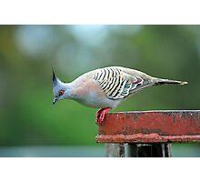Crested Pigeon. Brisbane, Queensland, Australia. Photographic Print