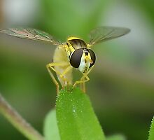Head on Hoverfly by relayer51