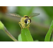 Head on Hoverfly Photographic Print