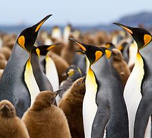 Penguins by David Campbell