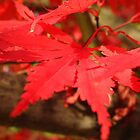 Red Maple  by Catherine Palmer