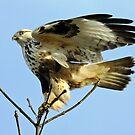 Rough-Legged Hawk Ready to Takeoff   by Chuck Gardner