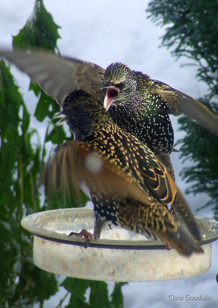 Starling Fighting For Food by Chris Goodwin