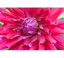 Spider Dahlia Photographic Print