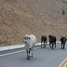 Law abiding cows. by Amanda Huggins