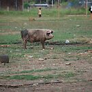tied to a tire.  one pig's life. by Amanda Huggins