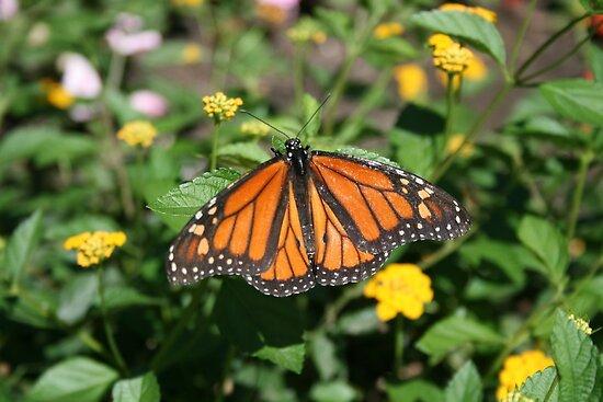 Monarch by Jen Hendricks