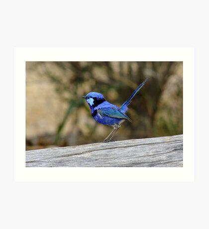 Blue Wren take 2 Art Print