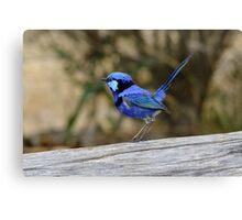 Blue Wren take 2 Canvas Print