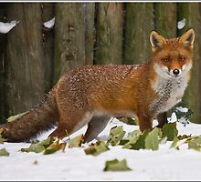 Fox in Snow by AloneImages