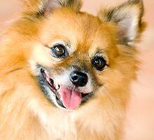 Foxy Lady - Pomeranian  by Jenny Dean