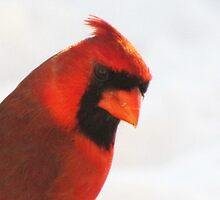 Northern Cardinal (male) by lorilee