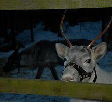 Reindeer (as promised lori!) by dougie1page2