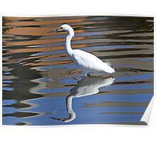 Snowy egret reflected in water Poster