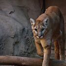 Arizona Mountain Lion by Peggy Coleman