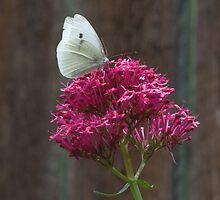 Butterfly and Flower by Simon Lexton