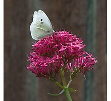 Butterfly and Flower Photographic Print