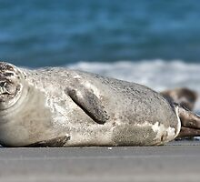 Adorable Common Seal by cute-wildlife
