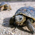Desert Tortoises ~ Hatchlings (4-5 weeks) by Kimberly P-Chadwick