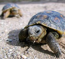 Desert Tortoises ~ Hatchlings (4-5 weeks) by Kimberly Chadwick