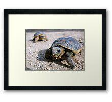 Desert Tortoises ~ Hatchlings (4-5 weeks) Framed Print